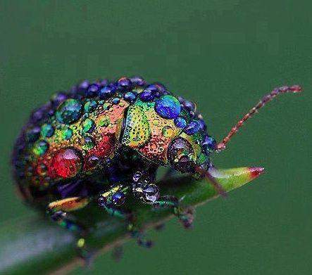 Rainbow leaf beetle - found throughout Eurasia