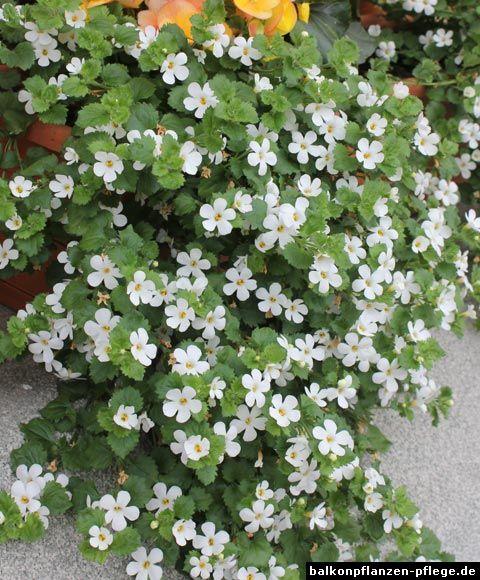 Pin Von Kathrin Wagner Auf Pflanzen: Sutera Cordata - Schneeflockenblume