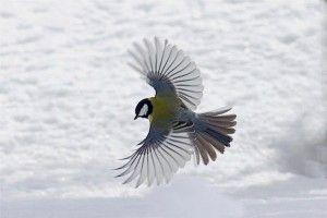 flygande talgoxe
