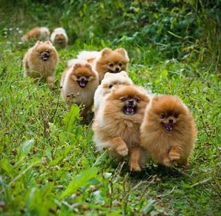 Pack of Poms :D Follow the Leader!!!