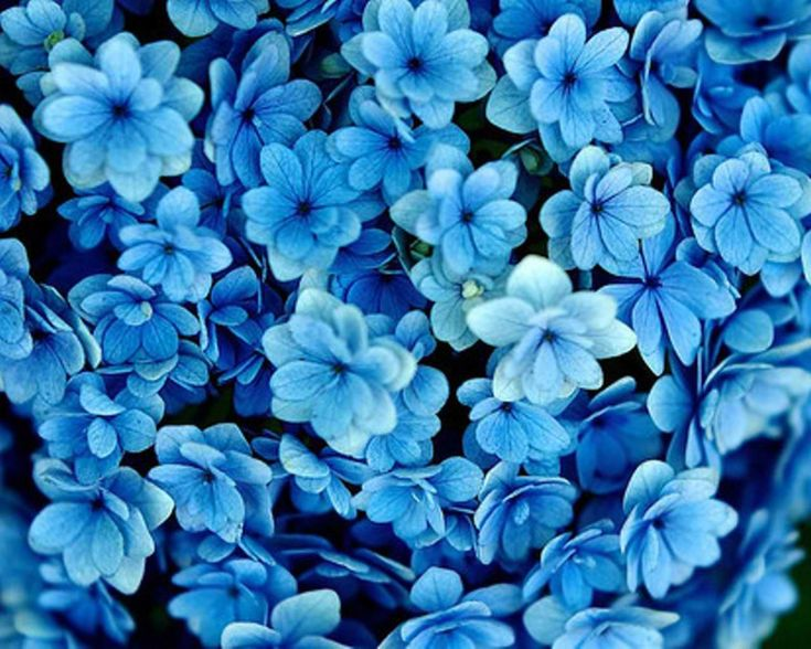 Blue Flowers Wallpaper Hd Background Desktop My Wedding Pinterest Flower And