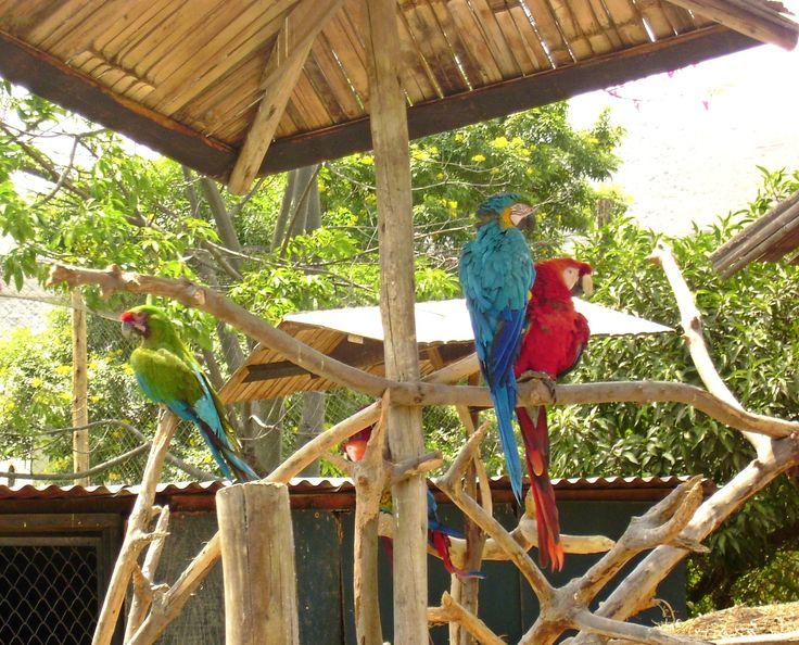 Guacamayos - Parque Zoologico Huachipa. Lima.