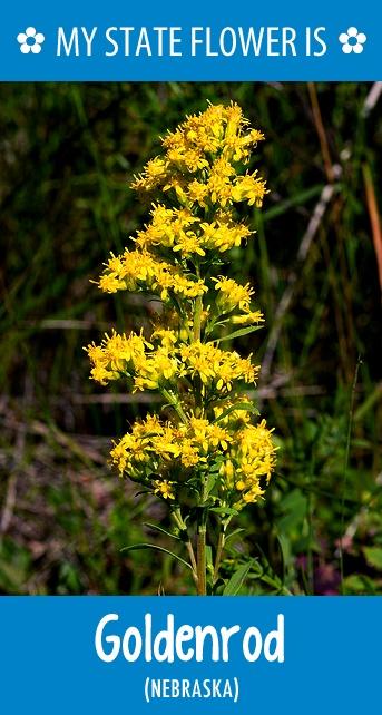 #Nebraska's state flower is the Goldenrod. What's your state flower? http://pinterest.com/hometalk/hometalk-state-flowers/