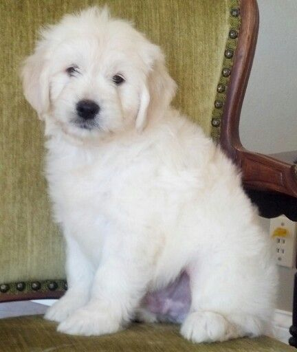 English Cream Medium Goldendoodle | Golden Doodles ...