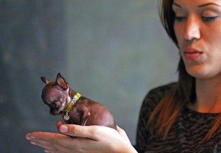 guinness Molly, il cane più piccolo del mondo, Porto Rico.  Cerca con Google