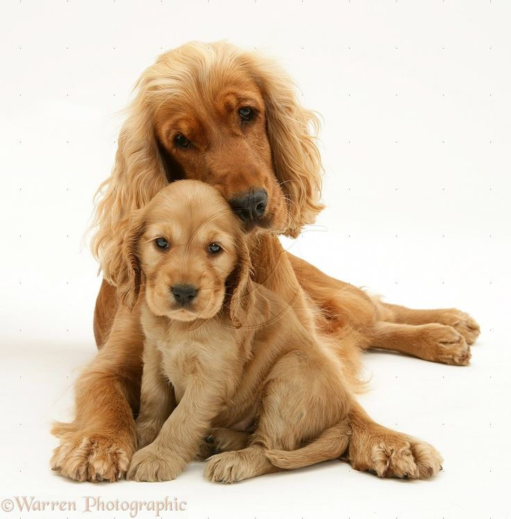 cocker spaniel | WP19046 Golden Cocker Spaniel and pup.