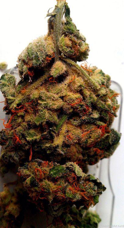 Red Forest Kush l www.Kidocean.net  Visit www.marijuananewsonline.com for marijuana news and more.