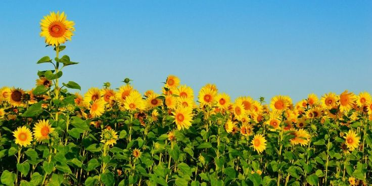 The tallest sunflower on record was over 30 feet tall. Coming in at 30' 1'', the bloom was grown in Germany.