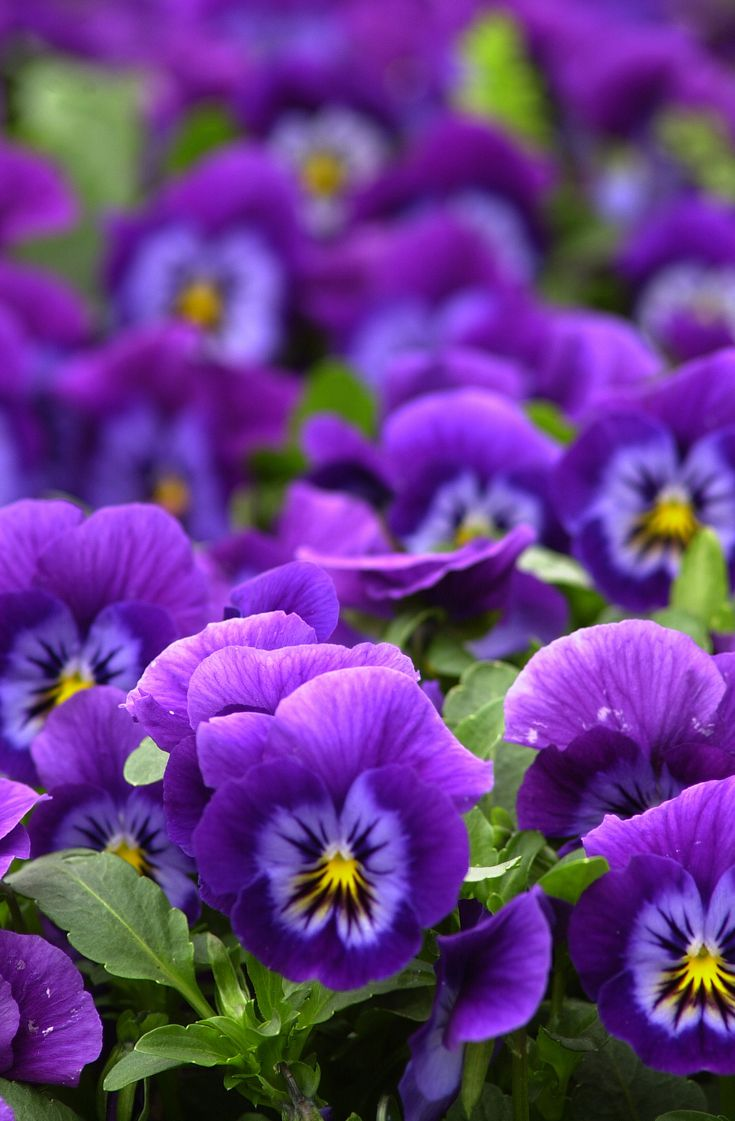 Viola x wittrockiana 'ultima'/Pansies