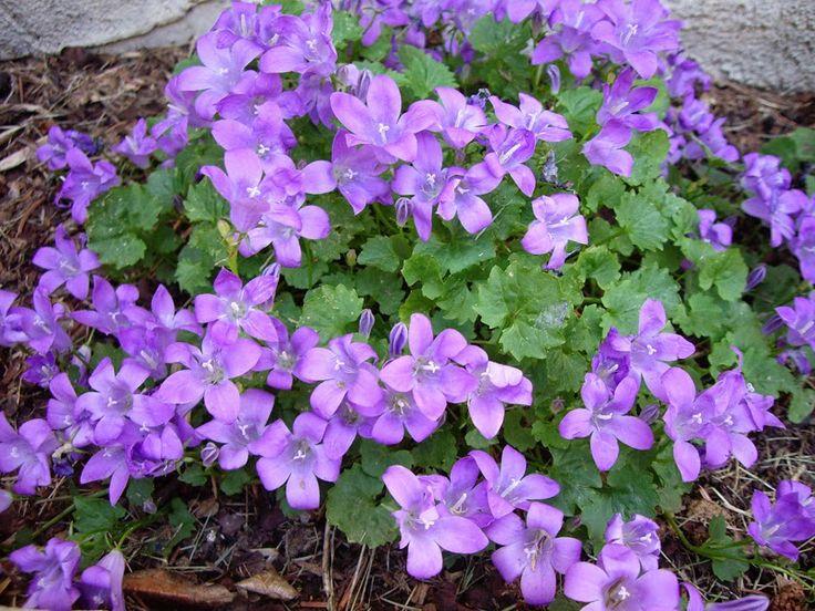 Piante e Fiori: Le piante tappezzanti