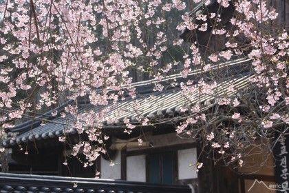 pink apricot blossoms like rain in Seonamsa temple, Suncheon-city.  순천 조계산..따스한 봄볕 아래 보리밥 먹고 홍매화 핀 선암사 뜰을 거닐다 (100대명산-67) : 네이버 블로