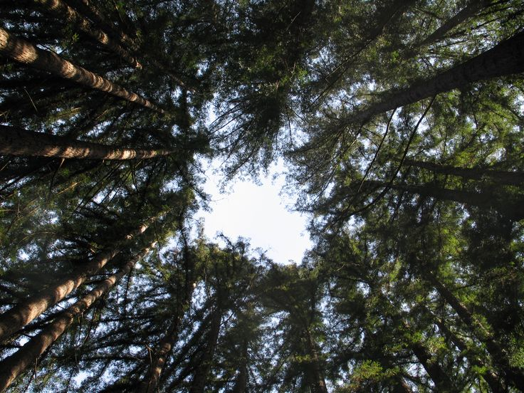 'Sequoia sempervirens Ring': A ring of Sequoia sempervirens [California Redwood / Coast-redwood] trees as seen from below.