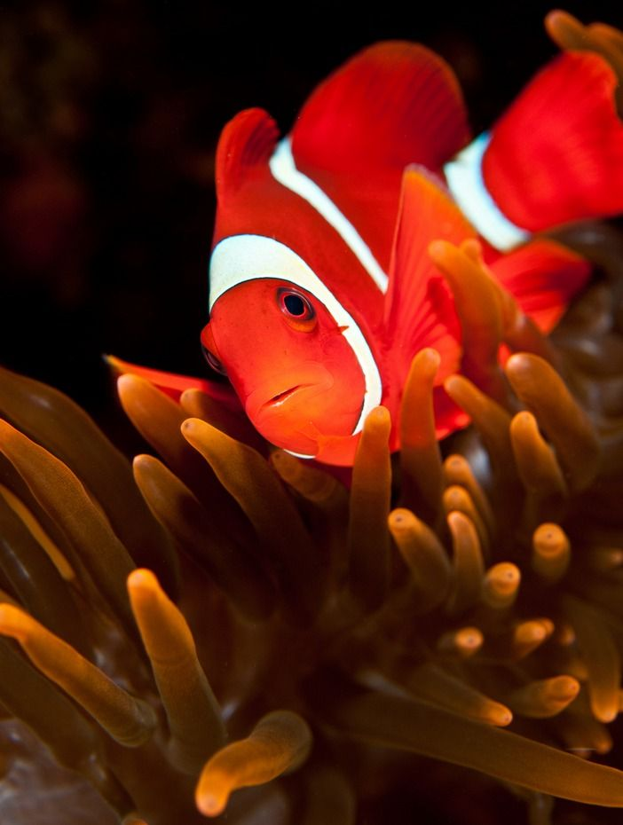 Spinecheek anemone fish by pash baker ocean life for Pictures of clown fish