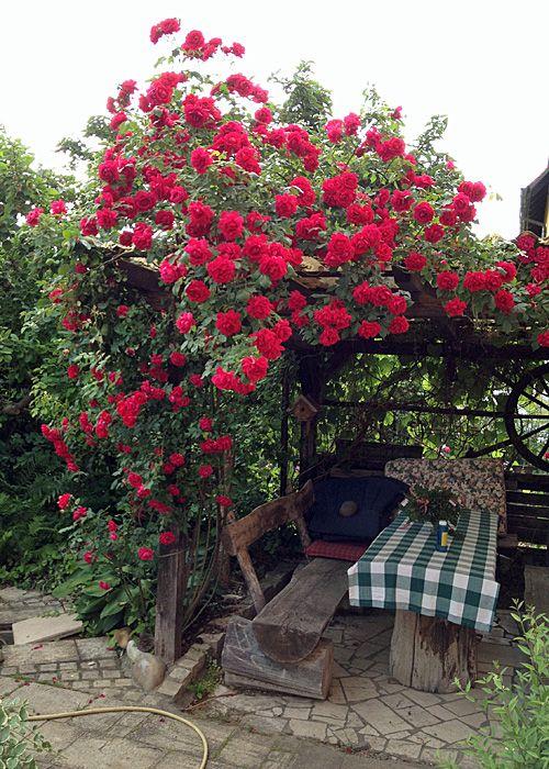 Rosen im Garten pflanzen und pflegen Die Königen der Pflanzen hat Ihre Allüren - mit denen man als Gärtner aber leben kann! Rosen sind Tiefwurzler - daher muss die Pflanzstelle unbedingt tiefgründig gelockert werden. Der Boden...