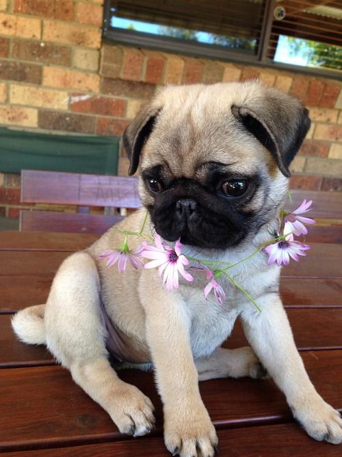 156 Best images about Baby Pugs on Pinterest | Teacup pug ...  White