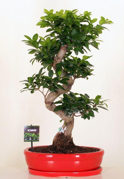 Dropbox - Green Power - Ficus Ginseng micr  S type rood keramiek.jpg