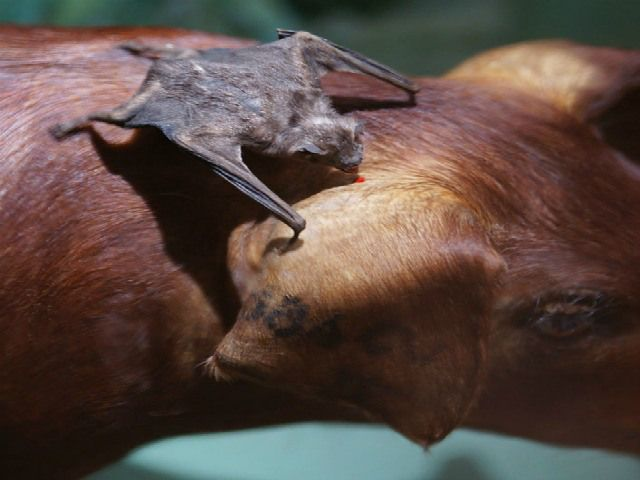 Do vampire bats drink blood? What does a vampire bat eat? Vampire Bat Facts – Questions And Answers!