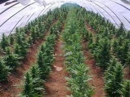Cómo plantar #marihuana en el exterior, datos simples  #cannabis #weed #gentefumeta #buenasvibras