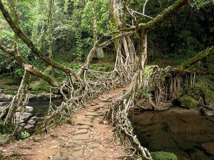 "http://allday.com/post/4631-this-tribe-in-india-has-been-making-living-bridges-from-tree-roots-for-centuries/  ""Deep in the northeastern region of one of the wettest places on Earth, the Khasi tribe fashions 100 foot living bridges out of rubber fig roots. It takes more than a decade for one structure to be completed but, once finished the resulting crossing is both beautiful and functional."""