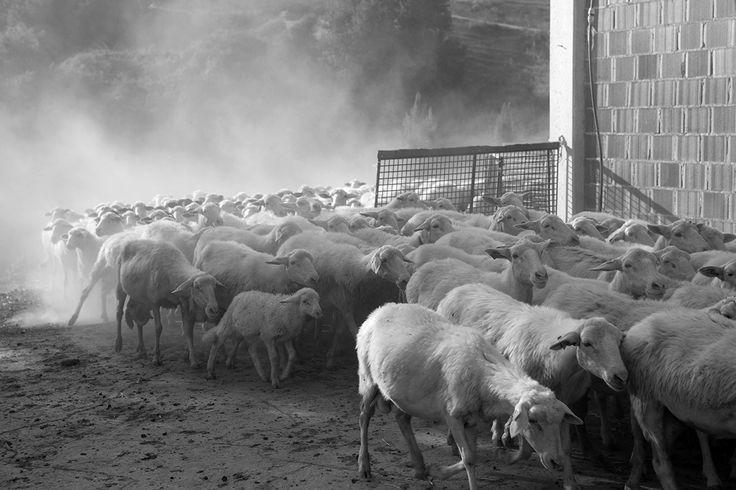 Sheep return to the fold in Cau&Spada farm (Marche)