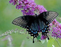 """""""No mistério do sem-fim equilibra-se um planeta. E no planeta um jardim e no jardim um canteiro no canteiro uma violeta e sobre ela o dia inteiro entre o planeta e o sem-fim a asa de uma borboleta."""" (Cecília Meireles)"""