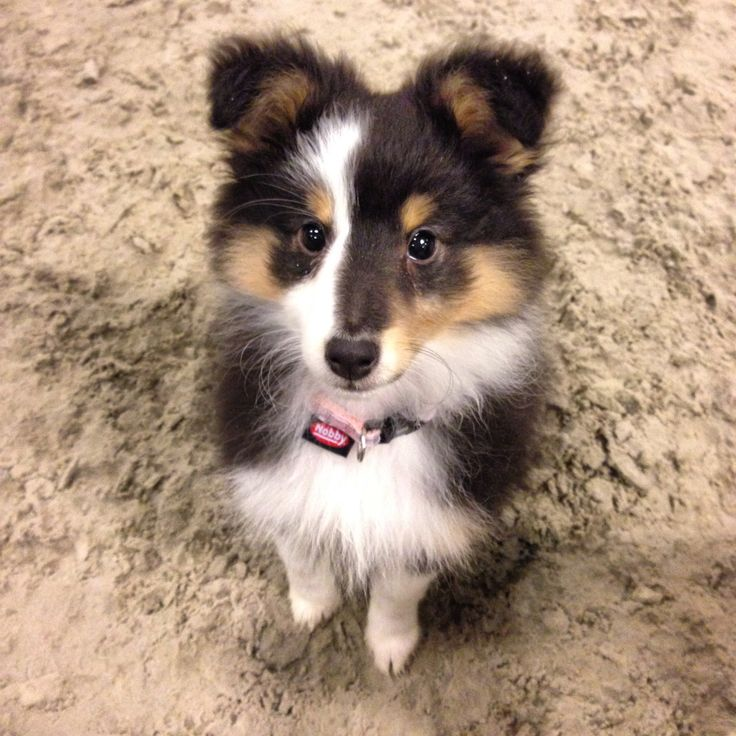 179 best shetland sheepdogs images on pinterest sheltie doggies and puppies. Black Bedroom Furniture Sets. Home Design Ideas