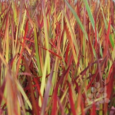 Buy Imperata cylindrica Rubra 'Blood Grass' |