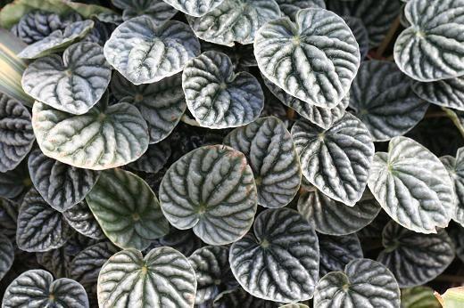 コショウ科(Piperaceae) : えるだまの植物図鑑