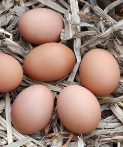 Élever des poules pondeuses dans son jardin
