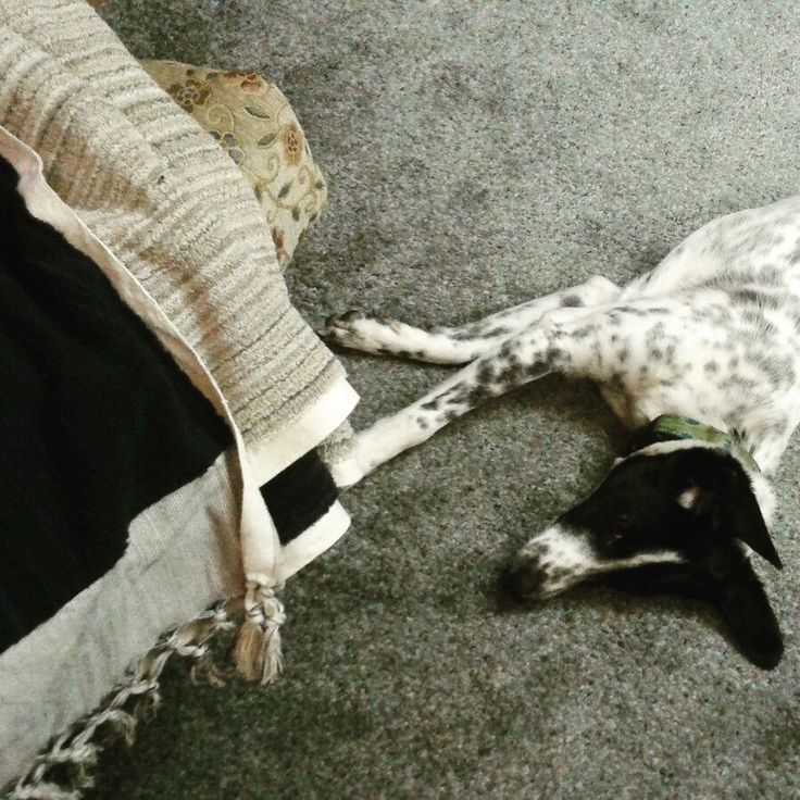 """Leela the dog stares up in wonderment at the limited edition Jennifer's Hamam 2-sided navy/tan, 1.4kgs organic, handwoven, Turkish towel.  """"I wonder if that's for me????""""  (Thank for sharing the photo Katrina) #dogs #jennnifershamam #organic #cotton #Turkish #Turkey #Istanbul #towel #bathtowel #throw #weaving #weavers #handwoven #quality #design"""