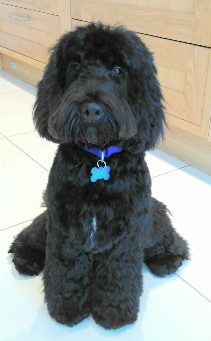 The 25 Best Black Cockapoo Ideas On Pinterest  Cockapoo -2028