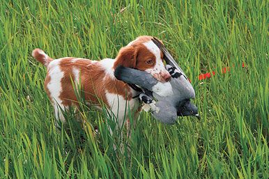 Birds First: Tips for Introducing Your Gun Dog Puppy to Birds