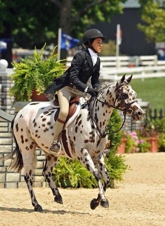 Goose Bumps - Pony of the Americas - Hunter (another Appaloosa cousin)