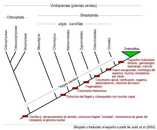 Alga verde - Wikipedia, la enciclopedia libre