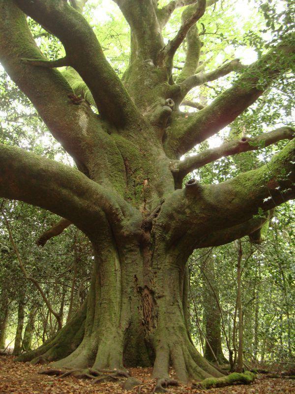 """arbre forestier, un vieux hêtre, appelélocalement""""le hêtre du voyageur"""".près de Paimpont"""