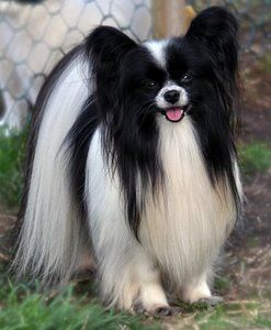 Beautiful - A very pretty Papillon for sure - I have 7 right now and none of mine are this pretty