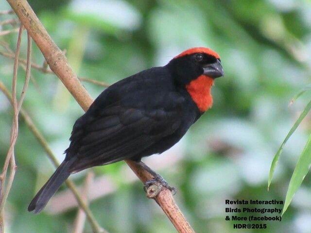Name Puertorriqueno: 60 Best Images About Aves De Puerto Rico On Pinterest