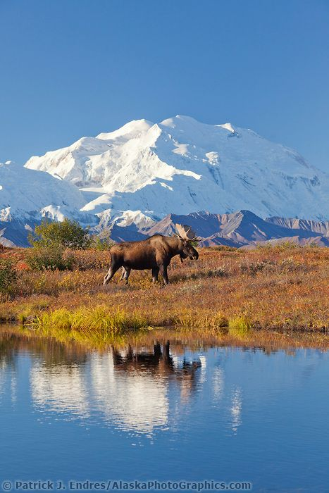Bull moose stands on the autumn colored tundra by a small kettle pond with the summit of Mt McKinley in the distance, Denali National Park, Alaska.