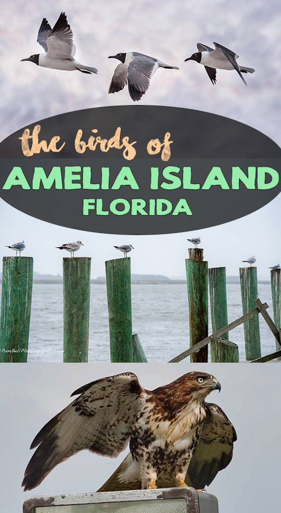 The Birds of Amelia Island can be such a beautiful site. Read our article on these little wanderers.   --------------  #birds #blog #tourism #wildlife #beach #ornithology