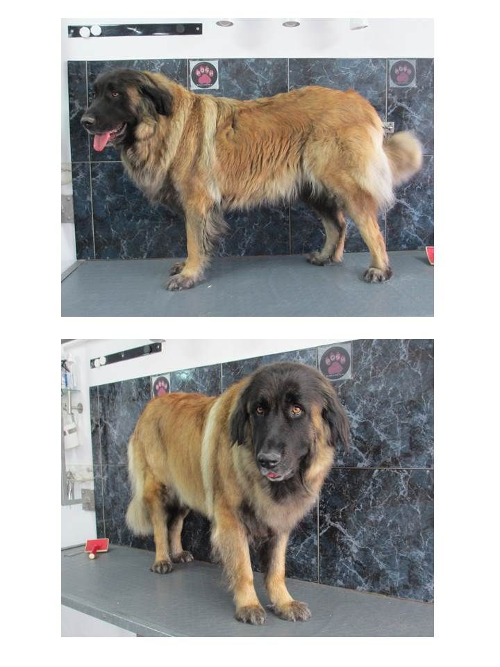 32 best dog grooming at the dog hut cheltenham images on pinterest rita the estrela as close as you can get to grooming a friendly lion solutioingenieria Image collections