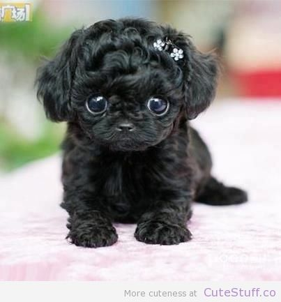 Teacup Puppy | http://CuteStuff.co - Cute Animals, Cute Pictures, Cute Videos and MORE! 4 likes in one hour!                                                                                                                                                                                 More
