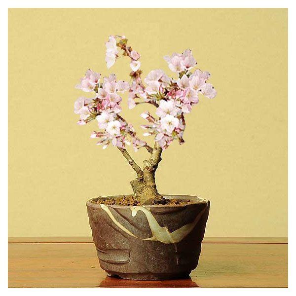 桜盆栽:御殿場桜(瀬戸焼小鉢)