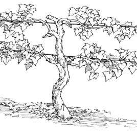 zinfandel coloring pages   Best Photos Of Grape Vine Coloring Page Grape Vine Clip ...