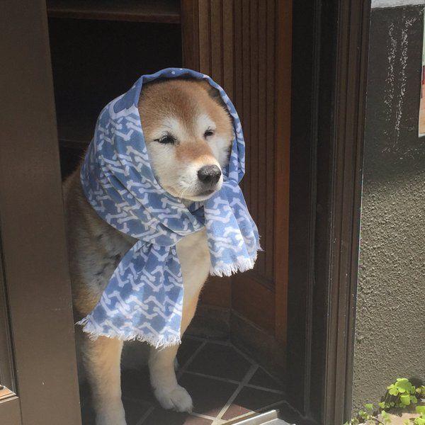 「おばちゃんみたいなほっかむりした近所のわんこwwwwwwwww」の画像 : ハムスター速報