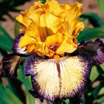 Aggressively Forward Reblooming Iris. Tantalizingly fragrant! Rich purple plicata stitching edges the ruffled, vibrant yellow falls. Distinctive blackish-purple striping bisects the falls. Colourful rebloomers offer an outstanding double feature! Enjoy generous, richly coloured blooms in mid spring and then again in late summer to early fall. These varieties are true stunners. Plant in full sun to partial shade. Iris germanica.