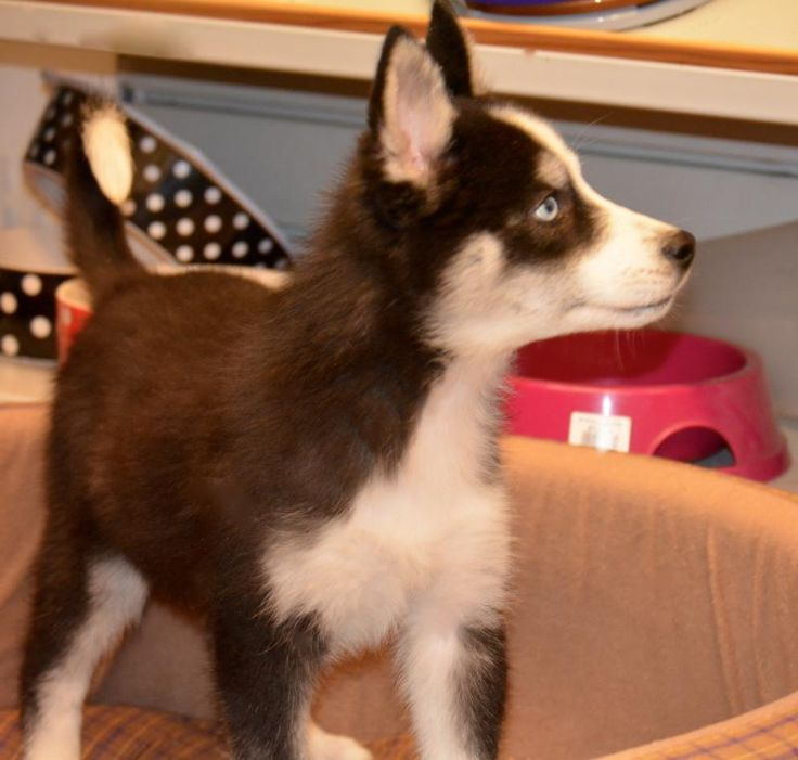 Stunning Husky x Samoyed puppies fully vaccinated - Designer and Cross Breed Puppies For Sale