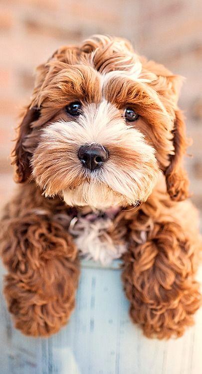 cockapoo puppy....