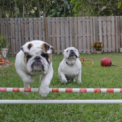 Baggy Bulldogs, more athletic than most people realize!