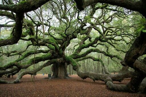 Charleston, SC 1500 yr old tree. Really cool picture place for a family :)