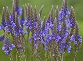 Blue vervain is a natural tranquilizer and is helpful in all nervous conditions and can be a sleep aid.  It can also act as a  decongestant during colds and a cup of warm tea taken throughout the cold is very beneficial.  It also is a vermifuge espicially for intestinal worms.  The tea is made from... - See more at: http://www.top1000naturalremedies.com/2014/09/blue-vervain/